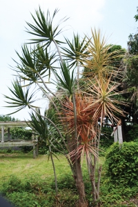 "Dracaena marginata, called ""money tree"" in Hawaii."