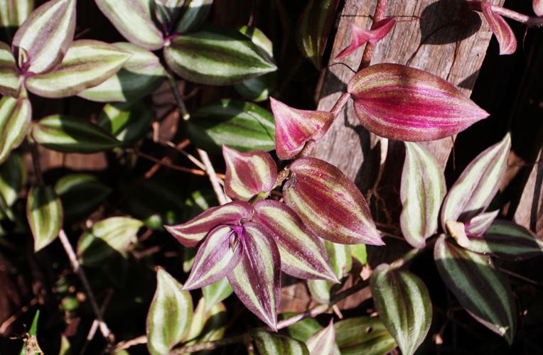 Money corner and money associated plants for feng shui - Purple wandering jew plant ...