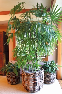 Rhapis or lady palm, potted