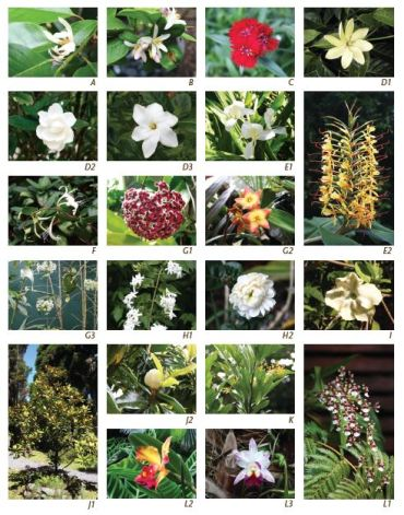 Fragrant Plant List photos from Feng Shui for Hawaii Gardens