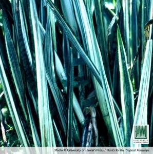 Bantel's Sensation. Photo © University of Hawai'i Press / Plants for the Tropical Xeriscape.