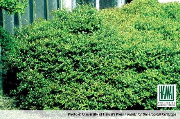Ilex Vomitoria. © University of Hawai'i Press / Plants for the Tropical Xeriscape