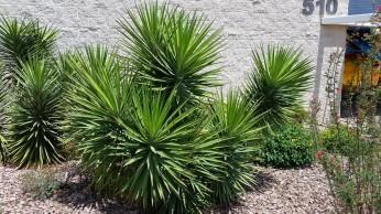 curve_leaf_yucca_plants